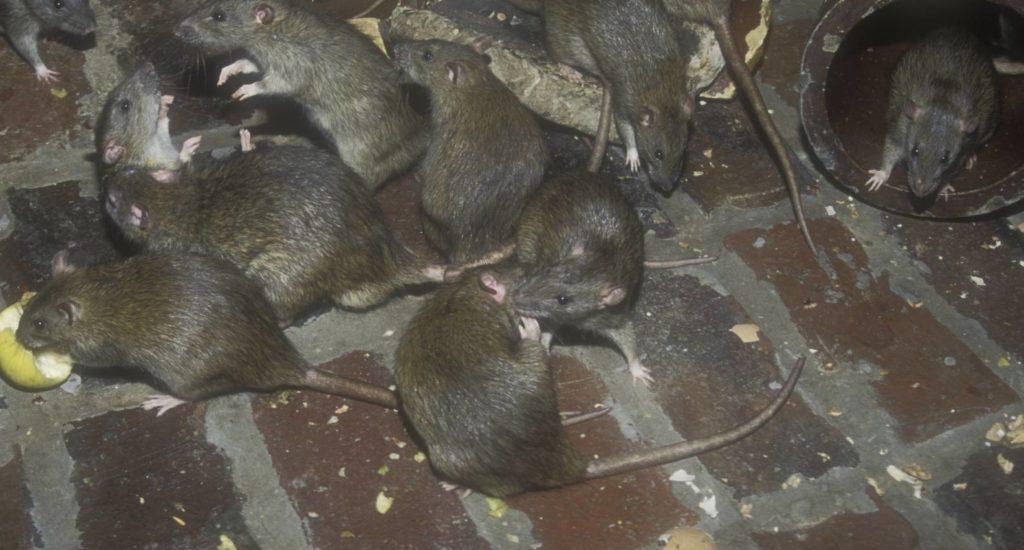 уничтожение крыс в Оренбурге